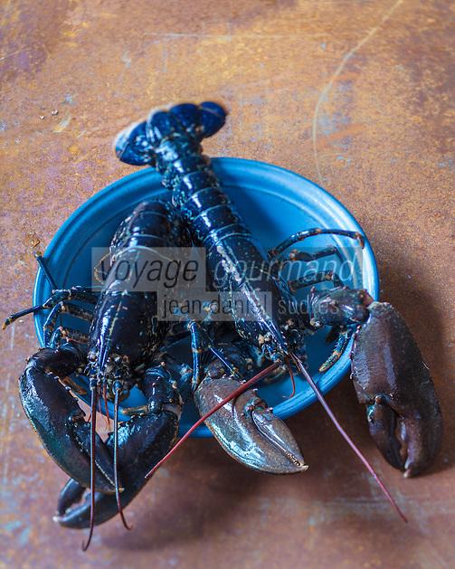 Europe/France/Bretagne/29/Finistère/Lannilis/Prat-Ar-Coum:  Homard bleu breton d'Yvon Madec, Viviers de  Prat-Ar-Coum - Stylisme : Valérie LHOMME<br /> Europe / France / Brittany / 29 / Finistere / Lannilis / Prat-Ar-Coum: Yvon Madec Breton blue lobster, Viviers de Prat-Ar-Coum - Stylist: Valérie LHOMME