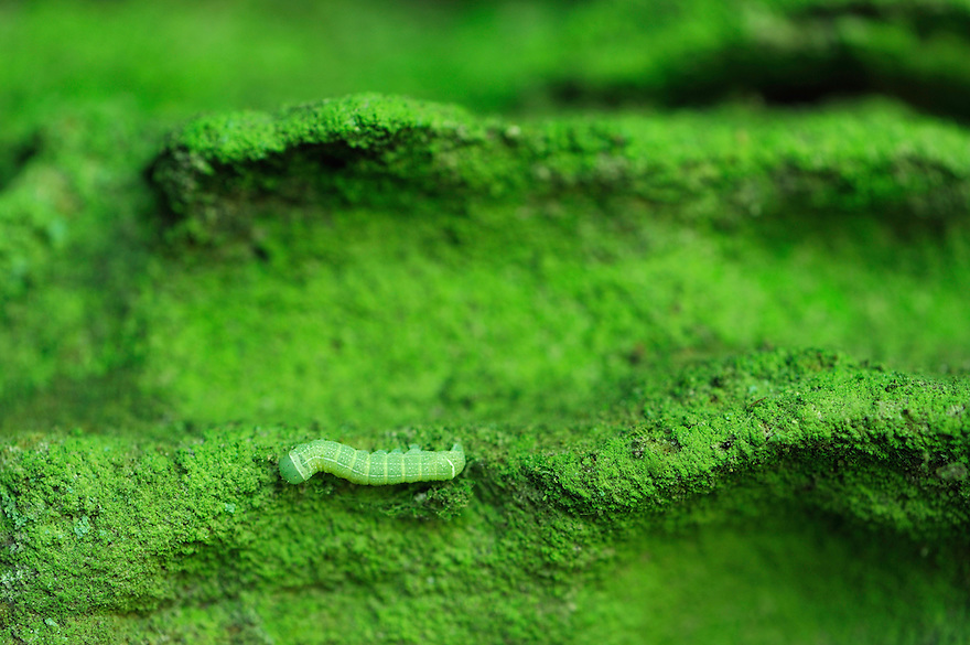 Butterfly larvae or Caterpillar on Sandstone, Mullerthal trail, Mullerthal, Luxembourg