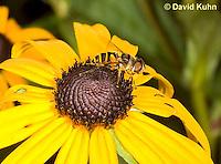 0310-1204  Transverse Flower Fly (Hover Fly), Pollinating Flower,  Eristalis transversa  © David Kuhn/Dwight Kuhn Photography
