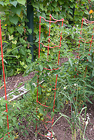 Caged tomatoes in vegetable garden with beans