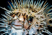 longspine porcupinefish, Diodon holocanthus, Sea of Cortez, Mexico, East Pacific Ocean