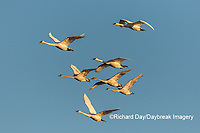 00758-02006 Trumpeter Swans (Cygnus buccinator) in flight Riverlands Migratory Bird Sanctuary St. Charles Co., MO