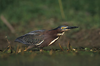 Green Heron, Butorides virescens, adult, Lake Corpus Christi, Texas, USA, May 2003