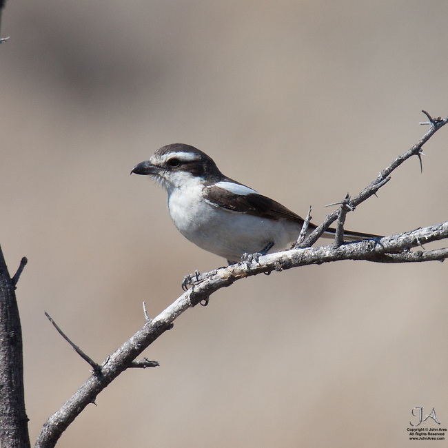 Common Fiscal Shrike in a tree in Etosha National Park, Namibia.  This is the Western race.