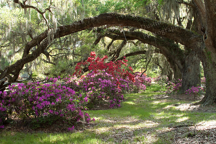 Southern Live Oak trees with Spanish moss and blooming azaleas at the magnolia plantation south carolina