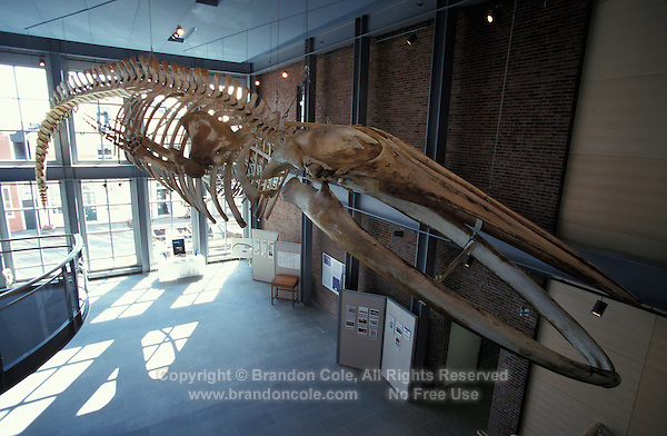 mv272. skeleton of Blue Whale (Balaenoptera musculus). 66' long adolescent specimen. New Bedford Whaling Museum, Massachusetts, USA..Photo Copyright © Brandon Cole. All rights reserved worldwide.  www.brandoncole.com..This photo is NOT free. It is NOT in the public domain. This photo is a Copyrighted Work, registered with the US Copyright Office. .Rights to reproduction of photograph granted only upon payment in full of agreed upon licensing fee. Any use of this photo prior to such payment is an infringement of copyright and punishable by fines up to  $150,000 USD...Brandon Cole.MARINE PHOTOGRAPHY.http://www.brandoncole.com.email: brandoncole@msn.com.4917 N. Boeing Rd..Spokane Valley, WA  99206  USA.tel: 509-535-3489