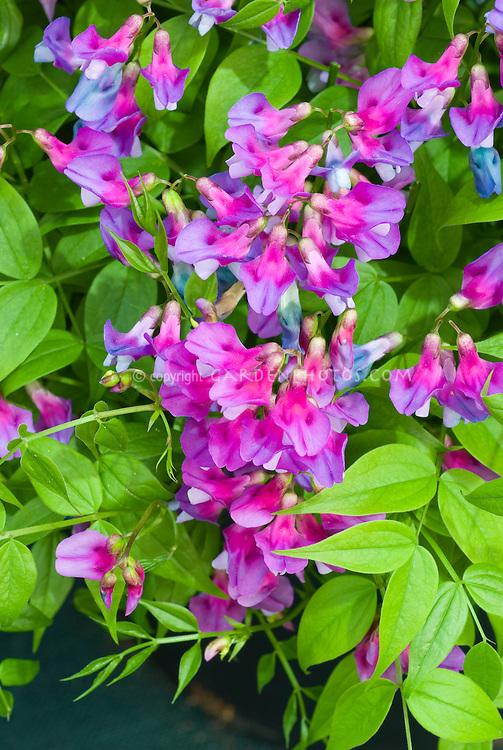 Perennial sweet pea Lathyrus vernus 'Dama Violetta' sweetpea flowers, pink and blue
