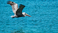 Pelican flying<br />