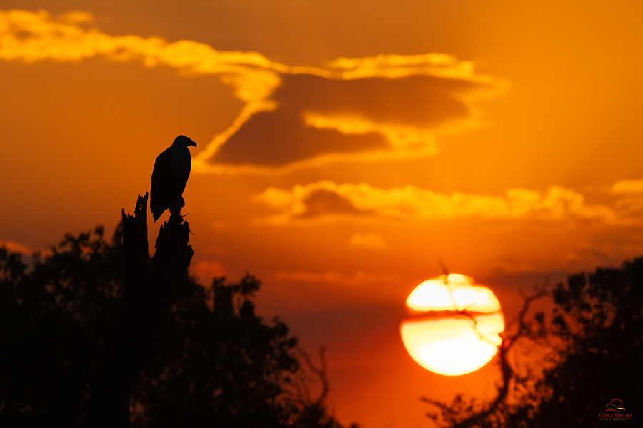 African Fish Eagle (Haliaeetus vocifer) takes a moment to admire the sun setting over the Chobe.