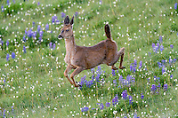 Columbian black-tailed deer (Odocoileus hemionus columbianus) doe running/jumping through subalpine meadow.  Olympic National Park, WA.  Summer.