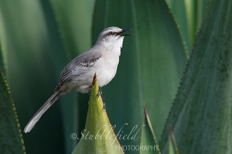 Tropical Mockingbird (Mimus gilvus rostratus), singing