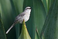 Tropical Mockingbird (Mimus gilvus rostratus), singing