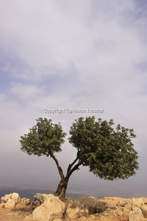 Israel, Lower Galilee, a Carob tree on Mount Arbel