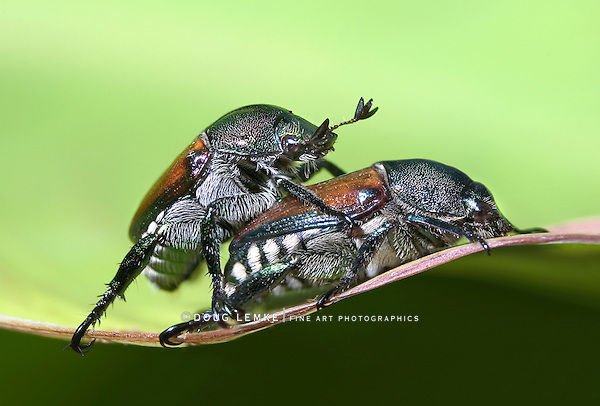 A Mating Pair Of Japanese Beetles, Popillia japonica