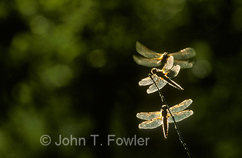 Dragonflies, predacious insect at rest