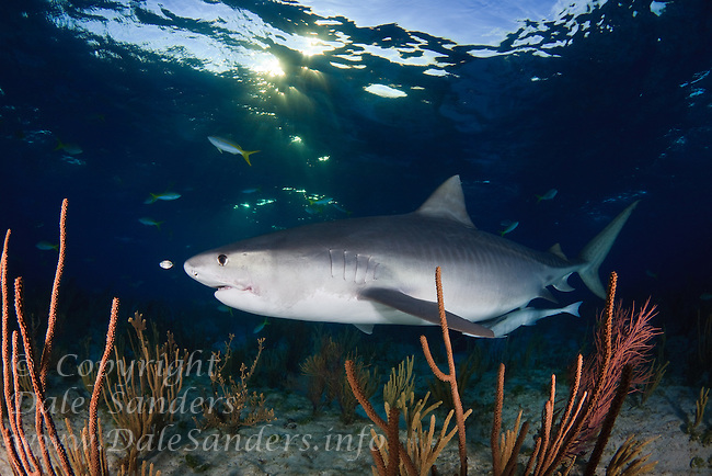 Tiger Shark (Galeocerdo cuvier) swims above coral in the Bahamas at sunset.