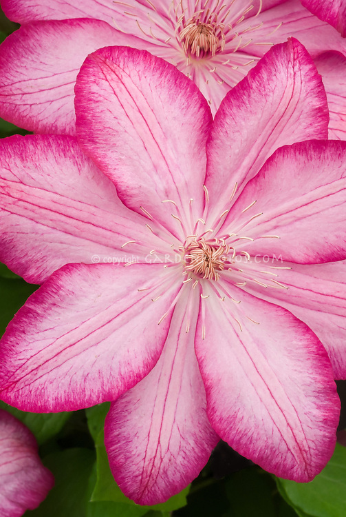 New Chelsea Plant: Clematis Liberty, Clematis Liberty aka 'Zo08095', new plant at Chelsea Flower Show 2015. Available from Thorndike Clematis. Pink white flowers with darker red picotee edge