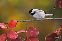 Carolina Chickadee, (Poecile carolinensis), adult perched on fall color branch of Crape myrtle (Lagerstroemia indica), New Braunfels, Hill Country, Central Texas, USA