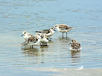 Group of sanderlings in non-breeding plumage bathing in rain water pool on beach
