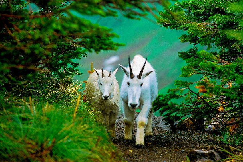 Mountain goats, Logan Pass, Glacier National Park, Montana