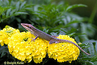 1R06-082b   Green Anole -climbing on marigold flower - Anolis carolinensis