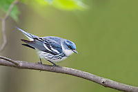 Cerulean Warbler (Setophaga cerulea), male in breeding plumage on it's breeding grounds in Sterling Forest State Park.