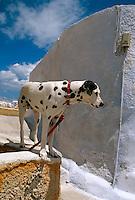 Hund in Oia, Insel Santorin (Santorini), Griechenland, Europa
