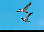 Snow Geese in Flight, Bosque del Apache Wildlife Refuge, New Mexico