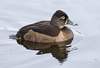 Ring-necked ducks are occasionally seen at Reifel in winter.
