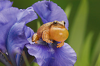 SPRING PEEPER ( Hyla crucifer).calling on Blue Iris flower..Spring.  Nova Scotia. Canada..
