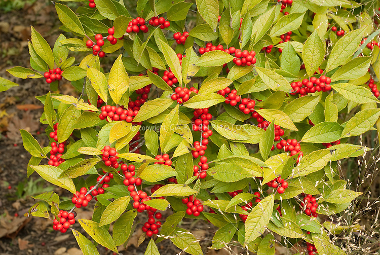 Ilex verticillata in winterberry red berries with foliage