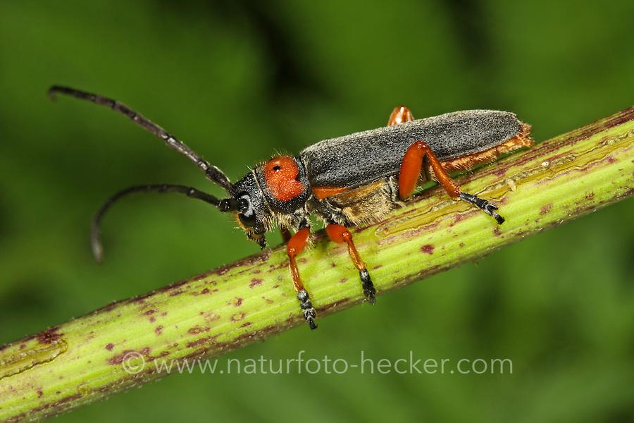 Schwarzfüßiger Walzenhalsbock, Schwarzfuß-Walzenhalsbock, Phytoecia nigripes, Musaria nigripes, Phytoecia affinis, Musaria affinis