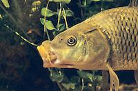 Karpfen, Schuppenkarpfen, Schuppen-Karpfen, Portrait mit Barteln, Zuchtform, Speisefisch, Cyprinus carpio, Common carp