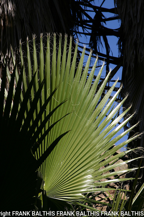 Palms at Cottonwood.  Joshua Tree National Park
