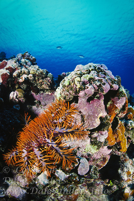 Crown-of-thorns Starfish ( Acanthaster planci), underwater on a coral reef off Rorotonga, Cook Islands.