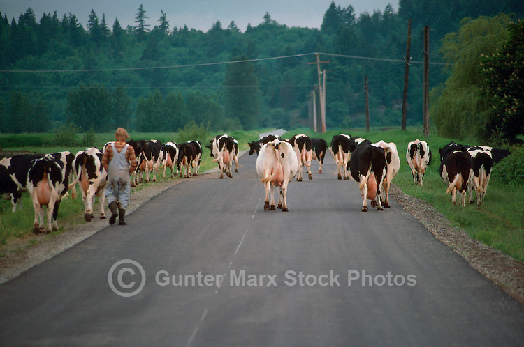 Small Herd of Holstein Cattle / Cows walking Home to be milked, British Columbia, Canada - Dairy Cattle Breed