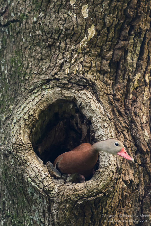 Brazoria County, Damon, Texas; a Black-bellied Whistling Duck poking its head out of a nest built into a hole in a large live oak tree, in early morning light