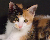 Stock Photo of a Calico Kitten