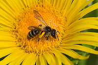 Rainfarn-Herbstsandbiene, Herbstsandbiene, Sandbiene, Weibchen, Andrena denticulata, Grey-banded Mining bee, Andrenidae, Sandbienen, female, mining bees, burrowing bees, mining bee, burrowing bee, Pollenhöschen, Blütenbesuch an Alant, Inula