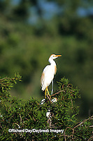 00686-00514  Cattle Egret (Bubulcus ibis) in bald cypress tree Yazoo National Wildlife Refuge  MS