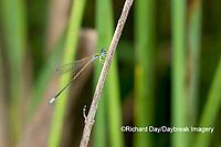 06330-00112 Sphagnum Sprite (Nehalennia gracillis) male Cox Wet Meadow Reynolds Co. MO