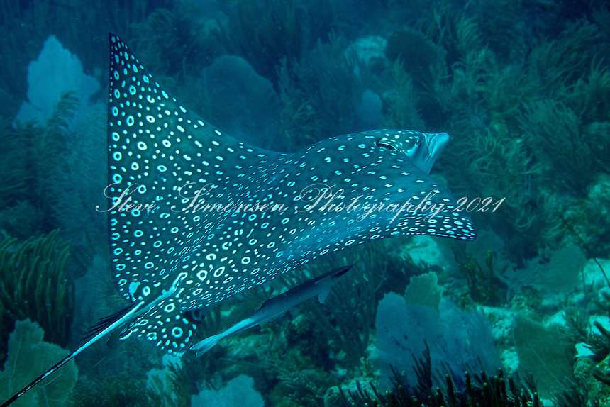 Spotted Eagle Ray<br />