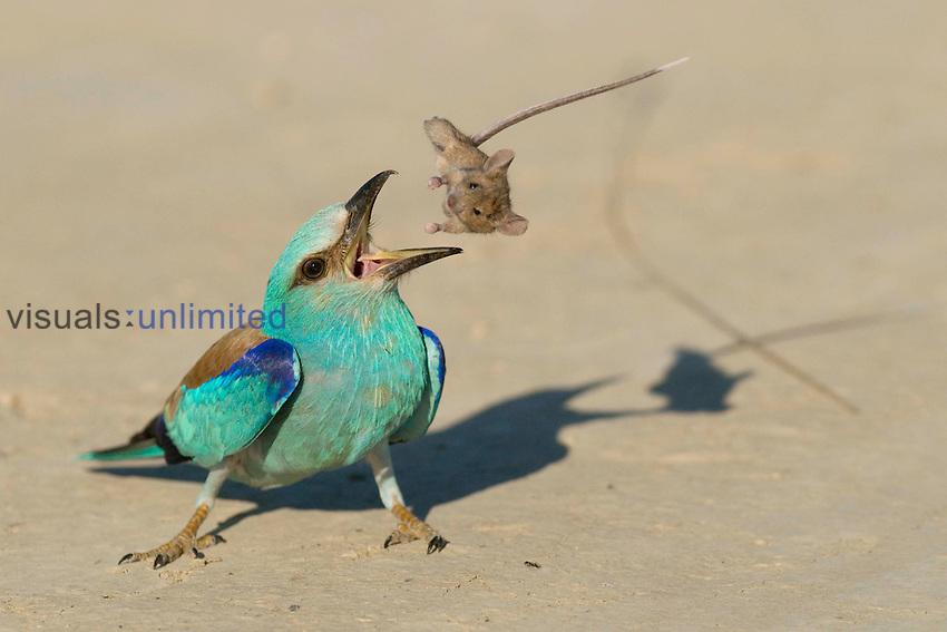 European Roller (Coracias garrulus) eating a Mouse, Hungary