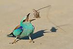 European Roller (Coracias garrulus) eating a Mouse, Hungary