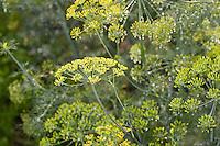 Dill, Gurkenkraut, Anethum graveolens, Aneth