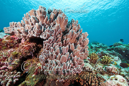 Soft coral on reef in the crystal clear waters of Palau Micronesia. (Photo by Matt Considine - Images of Asia Collection) (Matt Considine)