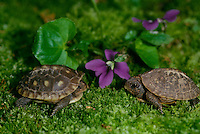 Two baby box turtles in garden on moss with purple violet blooming