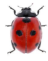 7-spot Ladybird - Coccinella 7-punctata