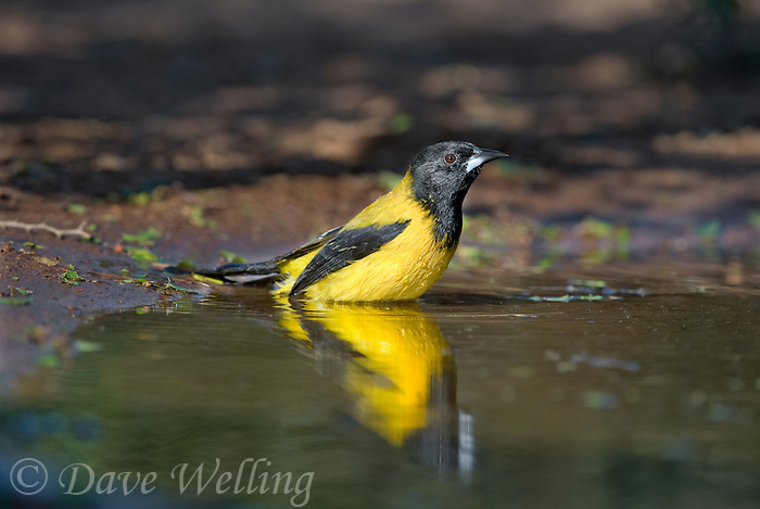 561850023 a wild brilliant yellow audubon's oriole icterus graduacauda bathes in a small pond on beto gutierrez santa clara ranch hidalgo county lower rio grande valley texas united states