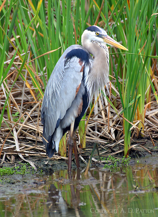 Great blue heron adult standing at edge of marsh